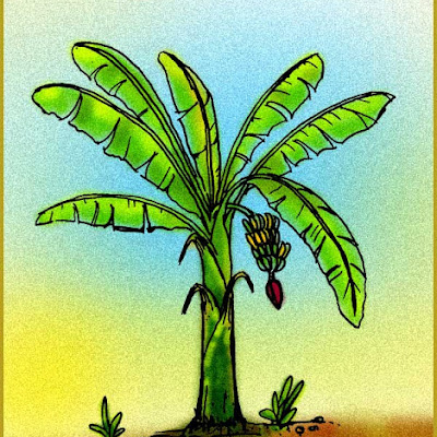 gambar pohon pisang
