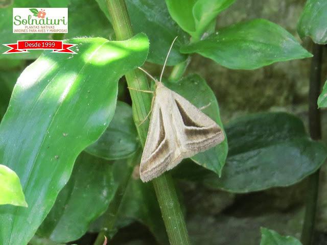 Lepidoptera Trigonodes familia Erebidae en Jardín de Plantas Nativas Solnaturi