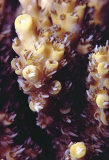 Acropora Anthocercis