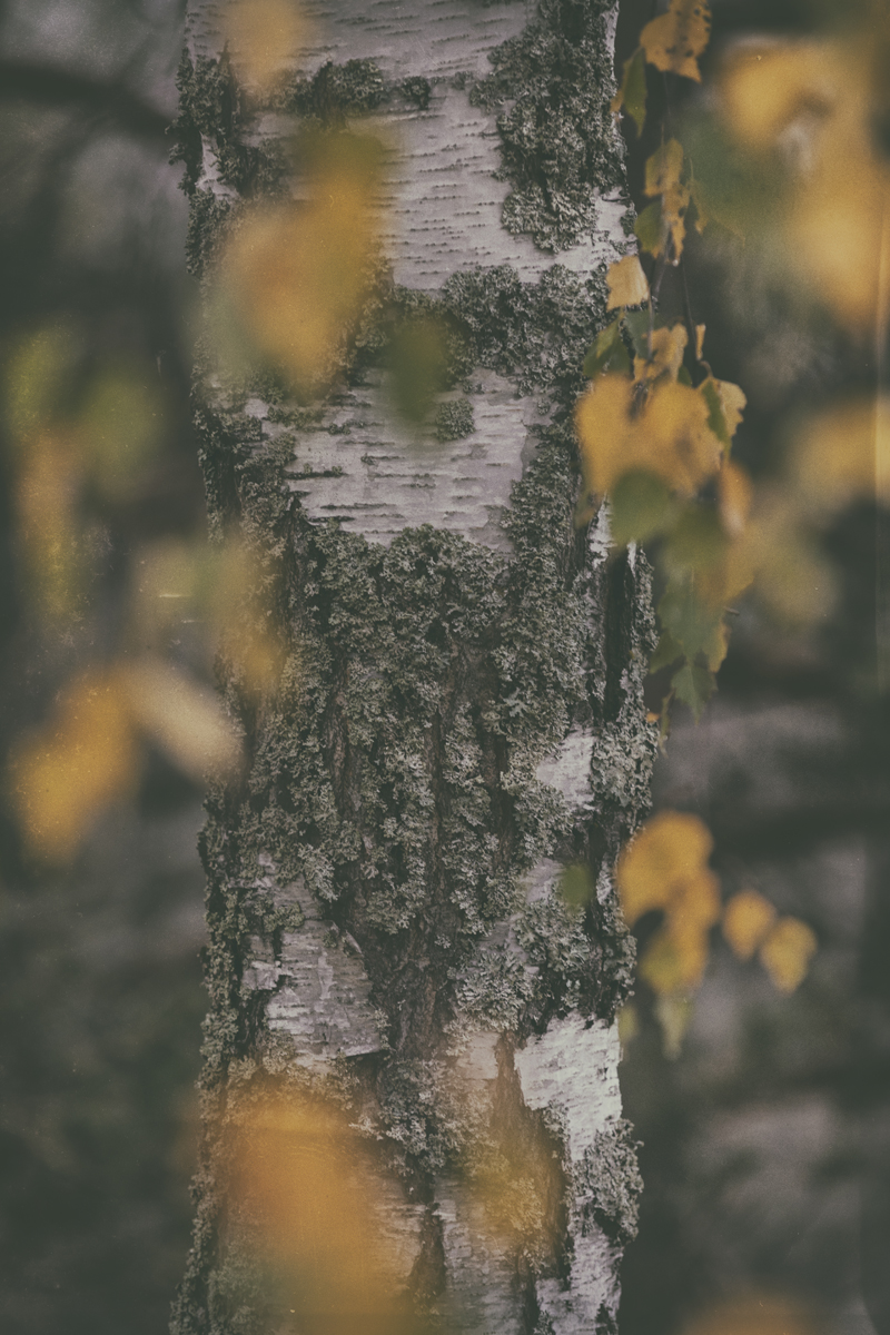 syksy, sumu, fog, usva, Finland, Suomi, Finlandphotolovers, outdoors, nature, luonto, luontovalokuva, luontovalokuvaus, Visualaddict, valokuvaaja, Frida Steiner, natural, trees, organic, koivu, birch