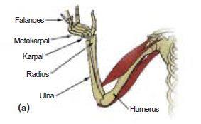 Sistem Kerangka Tubuh (Skeleton) Aksial dan  Apendikular Pada Sistem Gerak Manusia