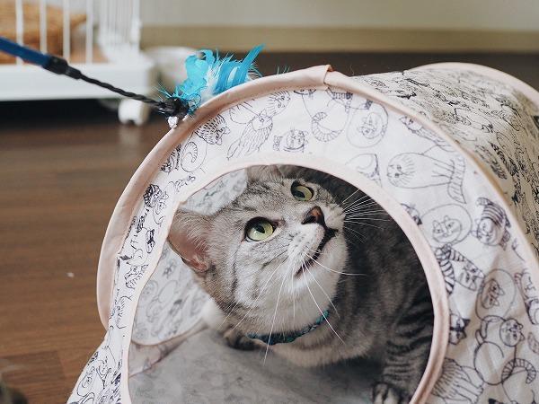 カサカサという音に興奮するサバトラ猫