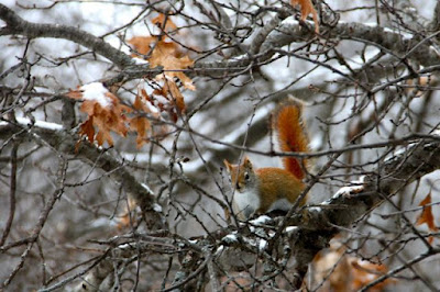 red squirrel after snow storm