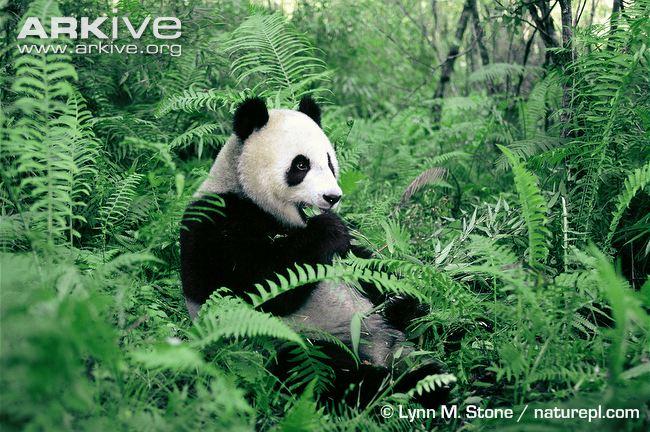 Green Heart At Work: Giant Pandas