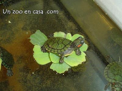 Cría de tortuga de orejas rojas sobre una lechuga de agua