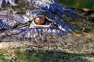 alligator-eye