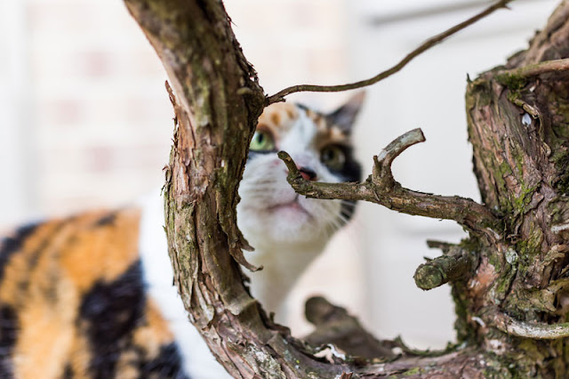 A calico cat sniffing a tree branch