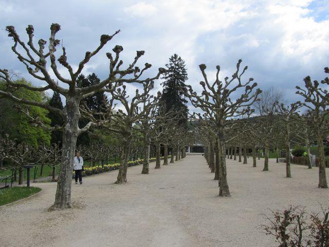 Platanen im Kurpark