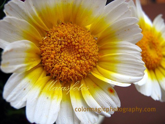 Chrysanthemum Coronarium flower-Shingku-Chop Suey Greens