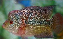 Ikan Hias Air tawar Termahal Louhan Cencu