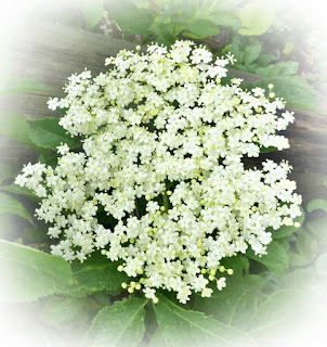 how-to-make-elderflower-cordial-champagne