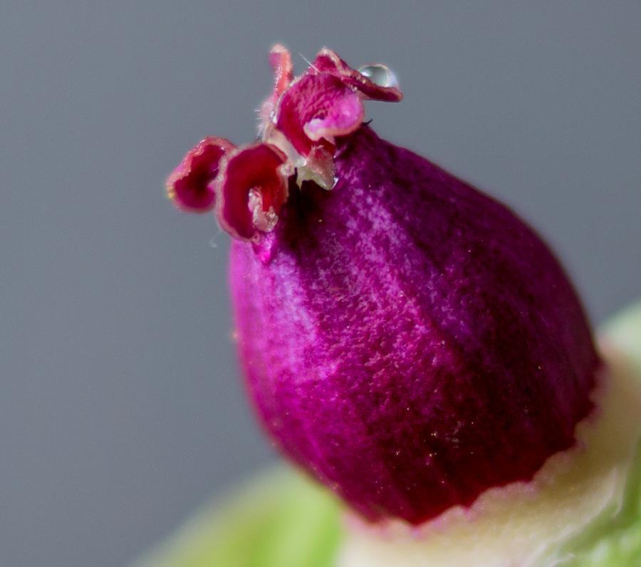 Blog + Fotografie by it's me! | fim.works | Bunt ist die Welt | Blumen | Makro nackter Stempel einer rosa-fliederfarbenen Bauernpfingstrose