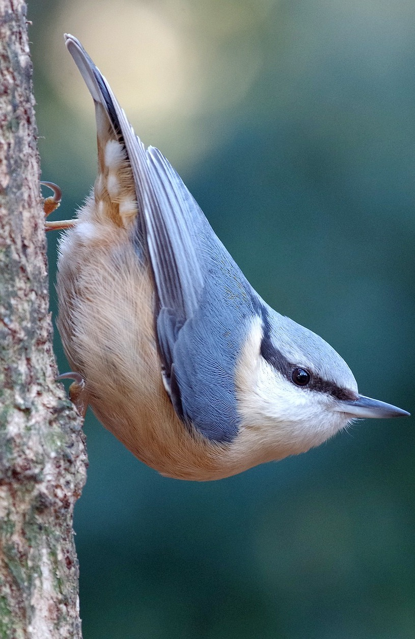Picture of an eurasian nuthatch.