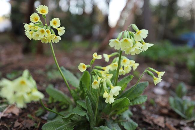 native pots display garden plant Primula elatior oxlip