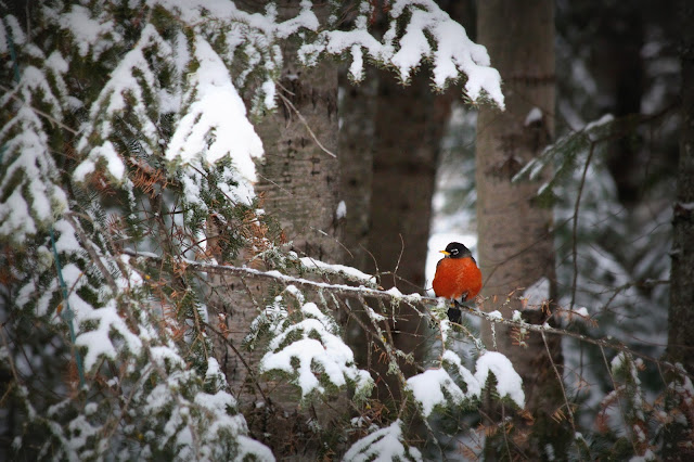 A rare robin that stayed for the winter, Timmins, Ontario, Canada. Photo, Holly Massie, all rights reserved