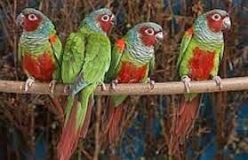 Goias parakeet