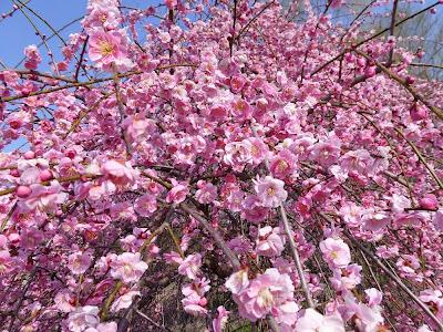 山田池公園の枝垂れ梅