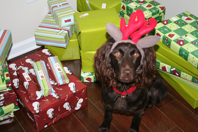 Boykin Spaniel Reindeer in front of Christmas Presents | The Lowcountry Lady