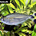 Bandtail Tetra