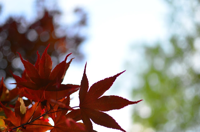 Japanese Maple Foliage at A Nest for All Seasons in the Stonecrest Hollow