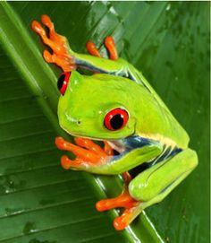 Primer plano de rana verde con ojos rojos y patas naranjas