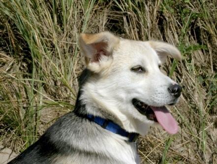 Cuddles, foster husky puppy
