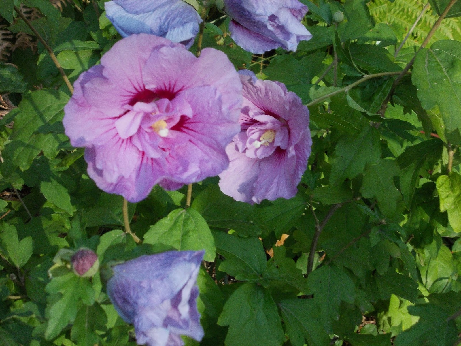 Vardo For Two Late Afternoon Purple Hibiscus