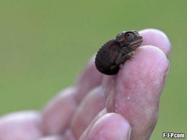 Funny Baby Chameleon Joke Picture