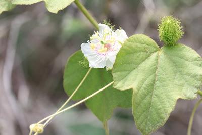 Passiflora foetida var. galapensis