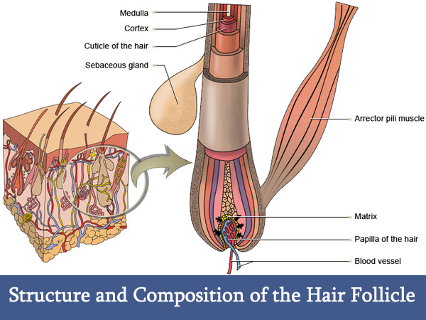 Structure and Composition of the Hair Follicle