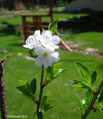apple flower, Malus domestica
