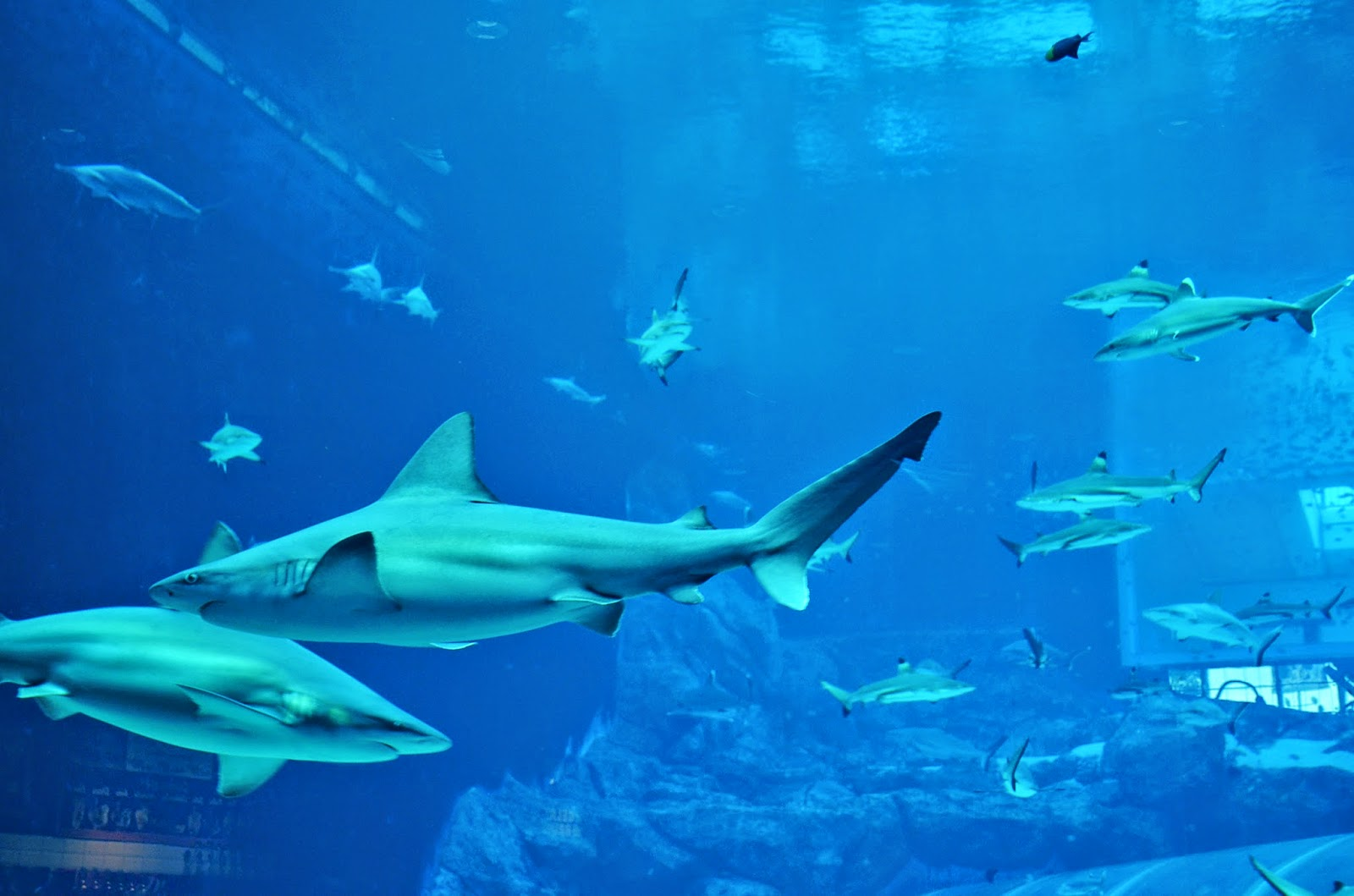 Silvertip Shark Aquarium Fish