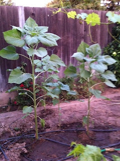 Our garden has sunflowers beginning to grow.