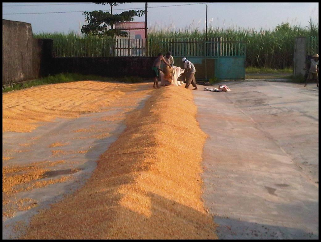Beli Janggel Jagung Giling - PT. AGRO INKORINA MANDIRI | Agromaret