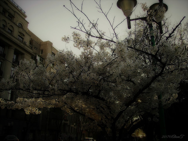 Cherry tree in full bloom. A view of the street under the blossoms of Cherry tree.