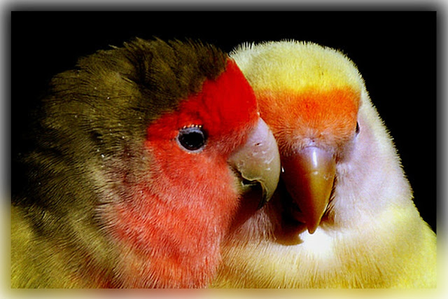 How to take care of a Lovebird-  7-Steps Detailed Guide on How to take care of Lovebirds