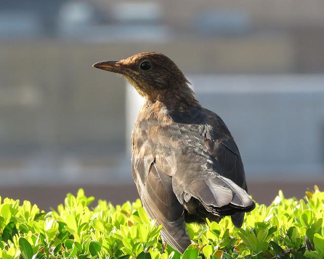 Female blackbird, roof garden of Allen & Overy, Bishops Square, Spitalfields, London