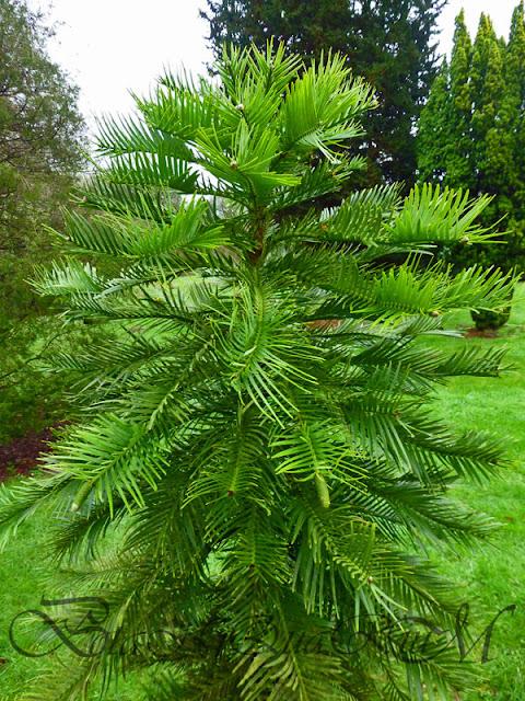 Botaniquarium - Wollemia nobilis 2006