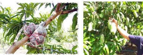 Bibit unggul buah mangga