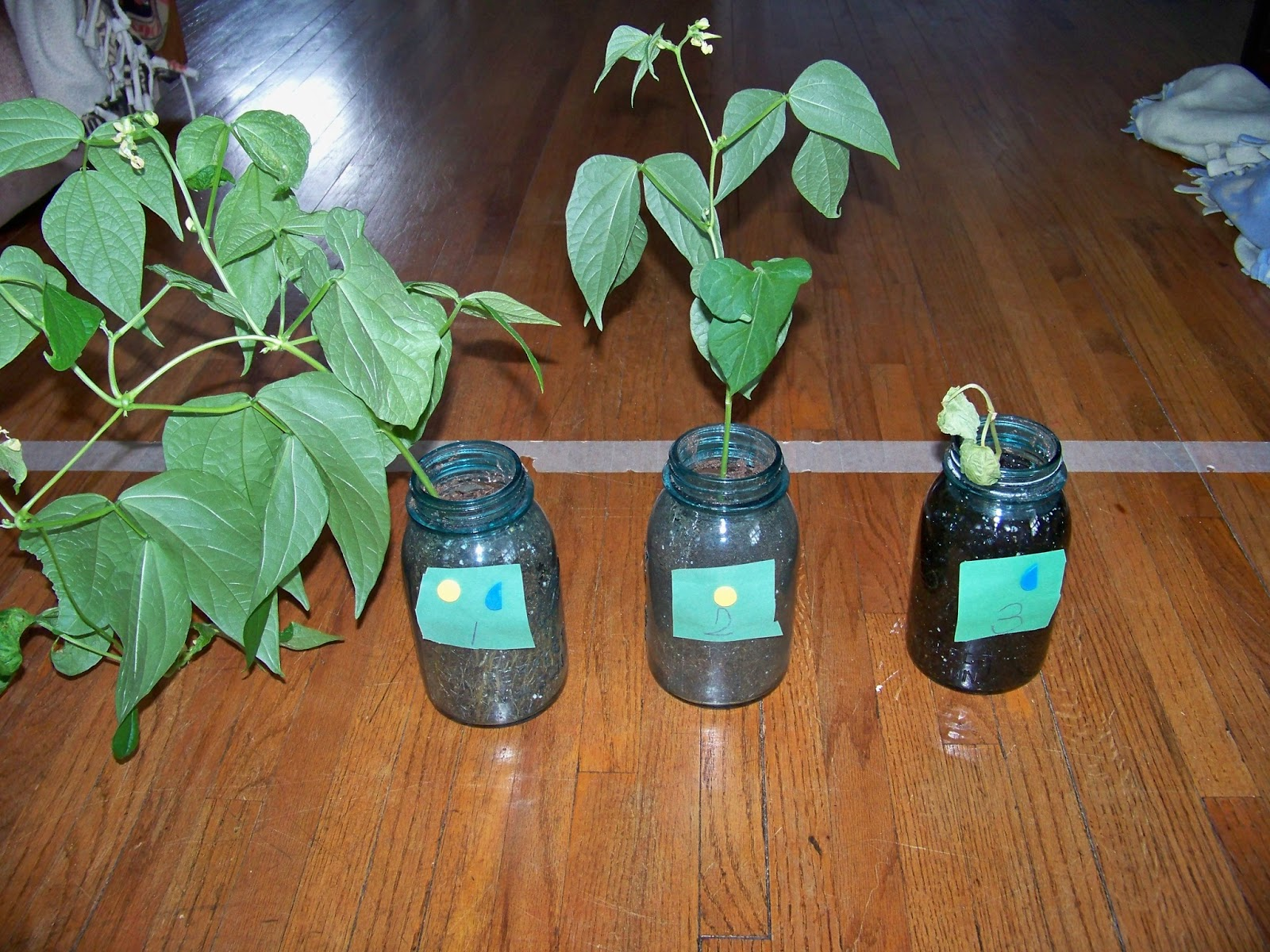 Bean Plant Experiment Finale