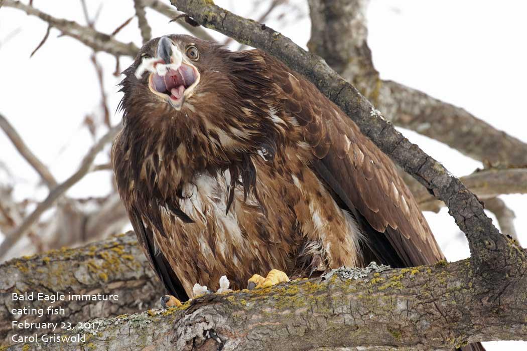 Sporadic bird thursday february 23 2017 common murres for Fish eating eagle