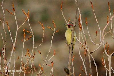 Pito real ibérico - Iberian green woodpecker - Picus viridis. El color rojo de la bigotera indica que este ejemplar es un macho.