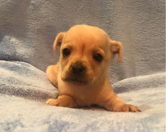 cachorros de tamaño miniatura
