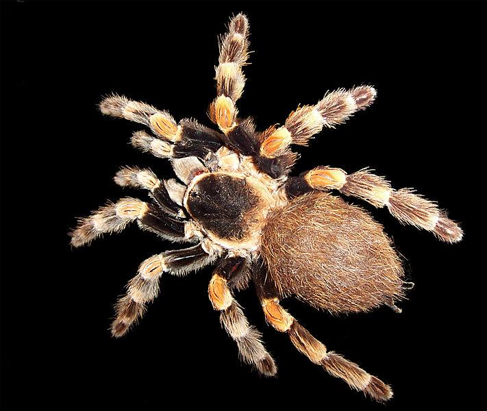 Arachnids: Brachypelma