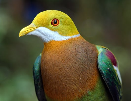 Superb Fruit-Dove | A Rare Pink-Necked Green #Pigeon