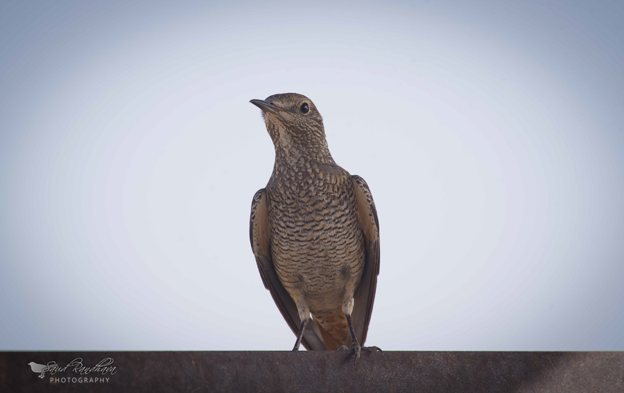 Rufous-tailed Rock Thrush