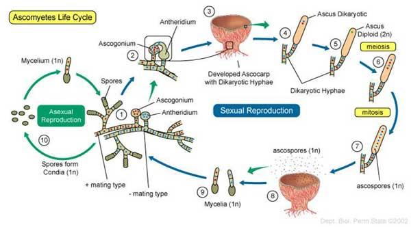 Siklus daur Hidup Ascomycota