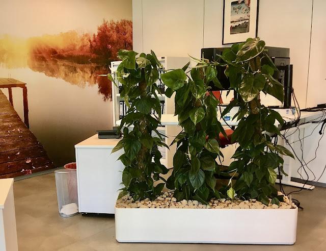 Scindapsus Philodendron Monstera planten op mosstok kopen voor interieur in Limburg Vlaams-Brabant Brussel