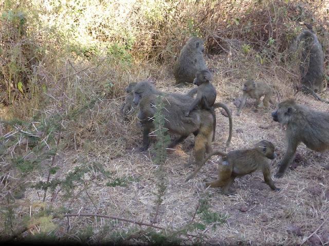 Familia de babuinos