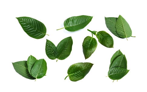A photo of a selection of kratom leaves from South East Asia